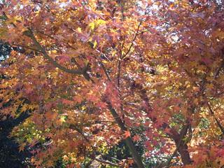 庭の楓の紅葉