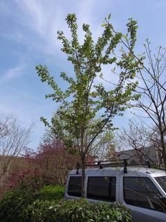 やって来た桜の木