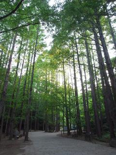 生田緑地のメタセコイヤの林